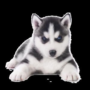 Husky PNG Transparent Images PNG Clip art