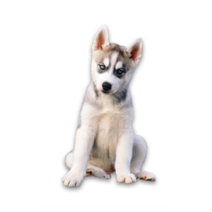 Husky PNG Transparent Photo PNG Clip art