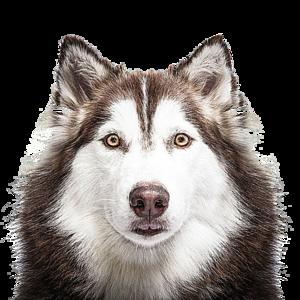 Husky PNG Transparent PNG Clip art