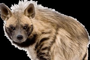 Hyena Transparent Background PNG Clip art
