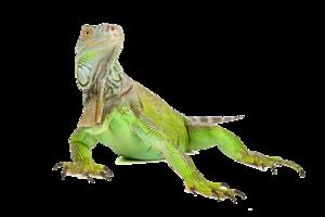 Iguana PNG Image PNG Clip art