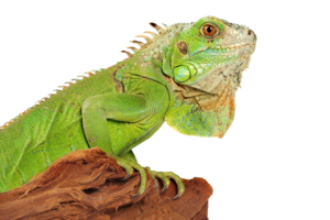 Iguana PNG Photo PNG Clip art