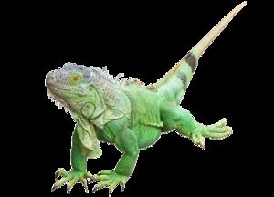 Iguana PNG Photos PNG Clip art
