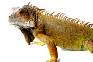Iguana PNG Picture PNG icon