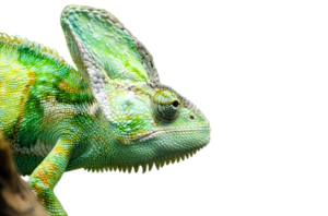 Iguana PNG Transparent Picture PNG Clip art