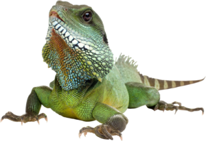 Iguana Transparent Background PNG clipart