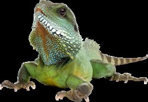 Iguana Transparent Background PNG Clip art