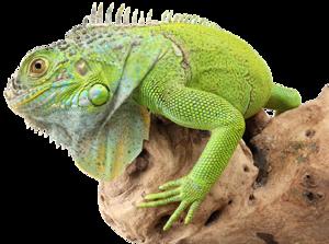 Iguana Transparent PNG PNG Clip art