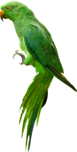 Indian Parrot PNG Image PNG Clip art
