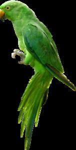 Indian Parrot PNG Image PNG Clip art
