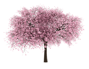 Japanese Flowering Cherry PNG File PNG Clip art