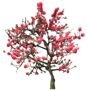 Japanese Flowering Cherry PNG Image PNG Clip art