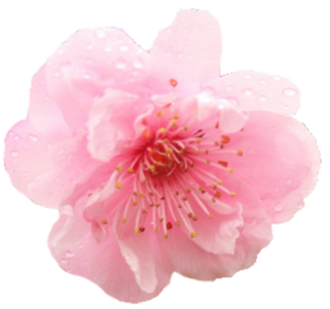 Japanese Flowering Cherry PNG Photo PNG Clip art