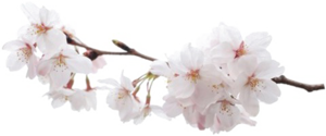 Japanese Flowering Cherry PNG Pic PNG Clip art
