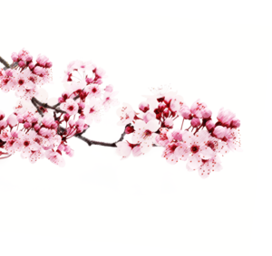 Japanese Flowering Cherry PNG Transparent Picture PNG Clip art