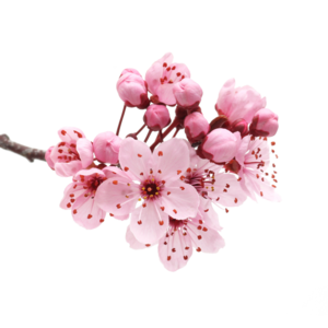 Japanese Flowering Cherry PNG Transparent PNG Clip art