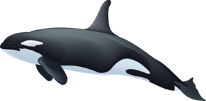 Killer Whale PNG Image PNG Clip art
