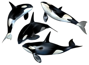 Killer Whale PNG Photo PNG icon
