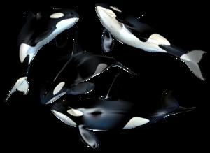 Killer Whale PNG Photo PNG Clip art
