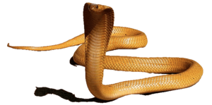 King Cobra PNG HD PNG Clip art