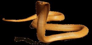 King Cobra PNG HD PNG Clip art