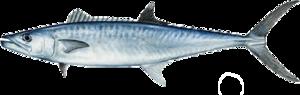 Kingfish PNG File PNG Clip art