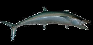 Kingfish PNG Transparent Image PNG Clip art
