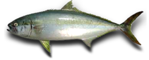 Kingfish Transparent Background PNG Clip art