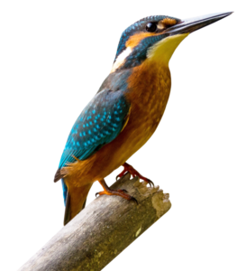Kingfisher Download PNG Image PNG Clip art