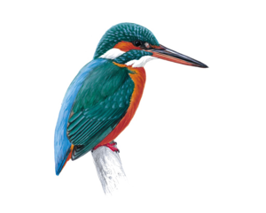 Kingfisher PNG Free Download PNG Clip art