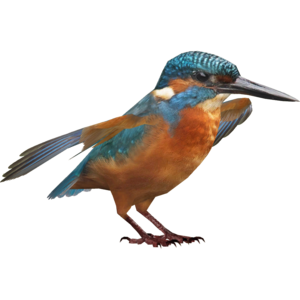 Kingfisher PNG HD PNG Clip art
