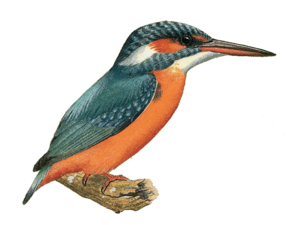Kingfisher PNG Image PNG Clip art
