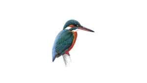 Kingfisher PNG Photo PNG Clip art