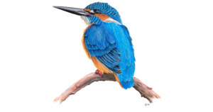 Kingfisher PNG Transparent HD Photo PNG Clip art