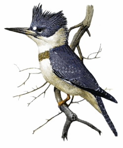 Kingfisher Transparent Background PNG Clip art