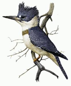 Kingfisher Transparent Background PNG Clip art