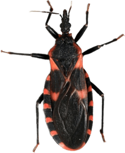 Kissing Bug PNG Free Download PNG Clip art
