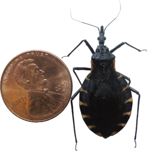 Kissing Bug PNG Pic PNG Clip art