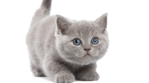 Kitten PNG Image PNG Clip art