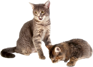 Kitten Transparent Background PNG Clip art