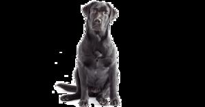 Labrador PNG Clipart PNG Clip art