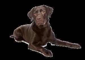 Labrador PNG File PNG Clip art