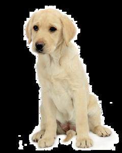 Labrador PNG Free Download PNG Clip art