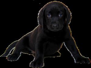 Labrador PNG HD PNG Clip art