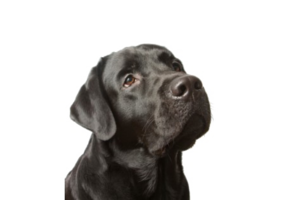 Labrador PNG Picture PNG Clip art
