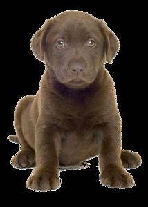 Labrador PNG Transparent Image PNG Clip art