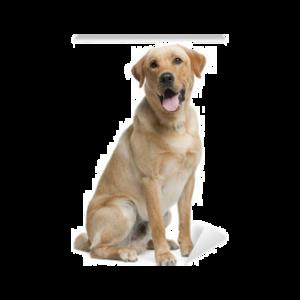 Labrador PNG Transparent Picture PNG Clip art