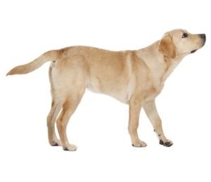 Labrador PNG Transparent PNG Clip art