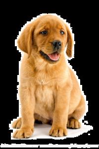 Labrador Transparent Background PNG Clip art