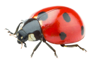 Ladybird PNG Background Image PNG Clip art